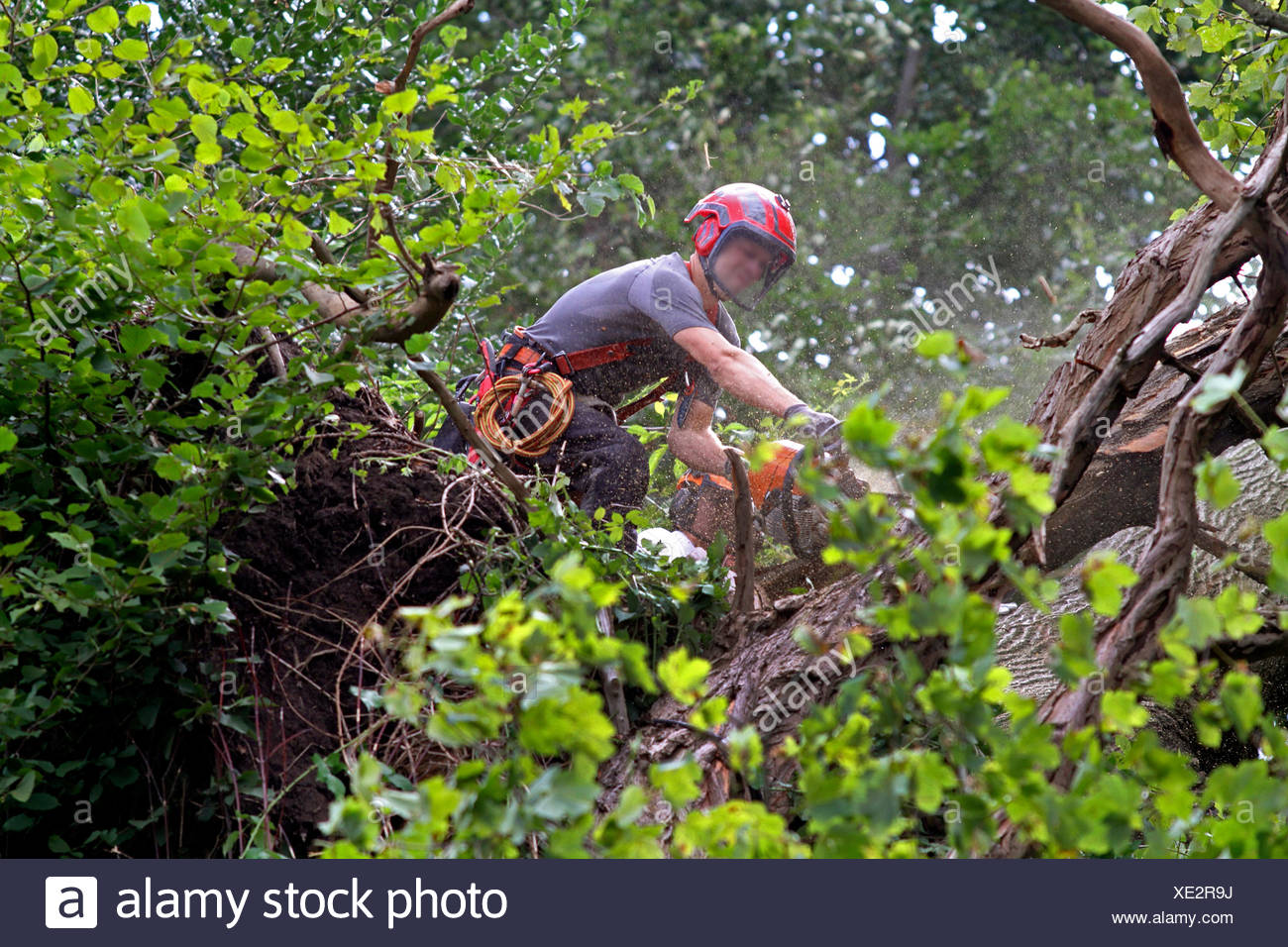 timber worker cutting down a tree, Germany Stock Photo