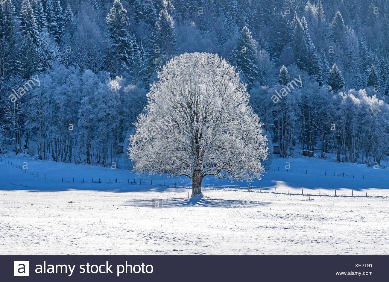 Linde (Tilia spec.), Blattlose mit Raureif ueberzogene Linde in einer verschneiten Landschaft, Deutschland, Bayern, Oberbayern,  - Stock Image