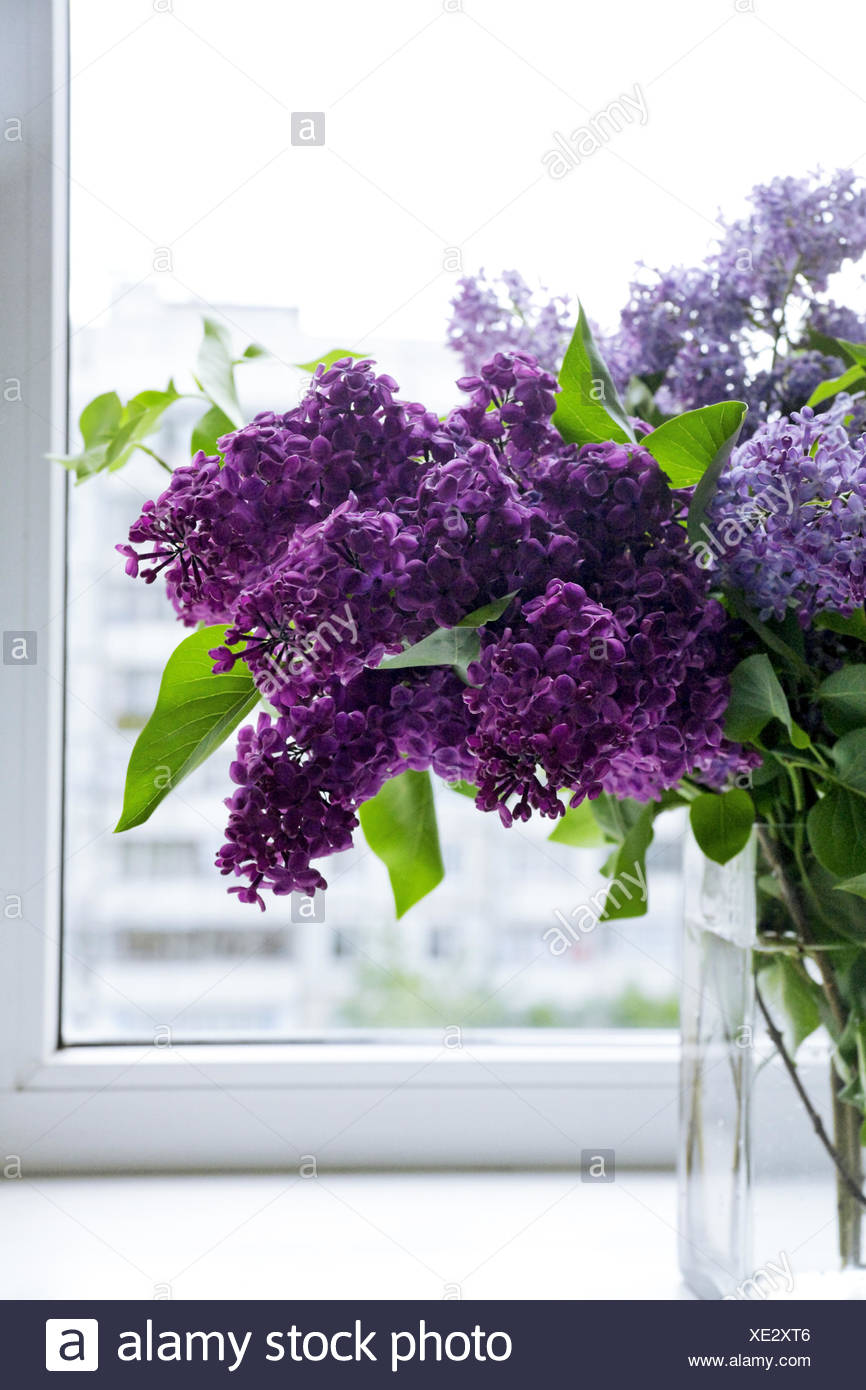 lilac flower on a window on a sunny day - Stock Image