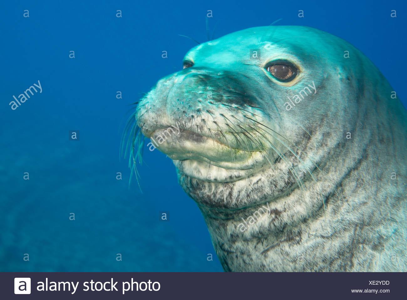 Male Hawaiian monk seal (Monachus schauinslandi)  at Lehua Ledges dive site, Lehua Rock, near Niihau, off Kauai, Hawaii - Stock Image