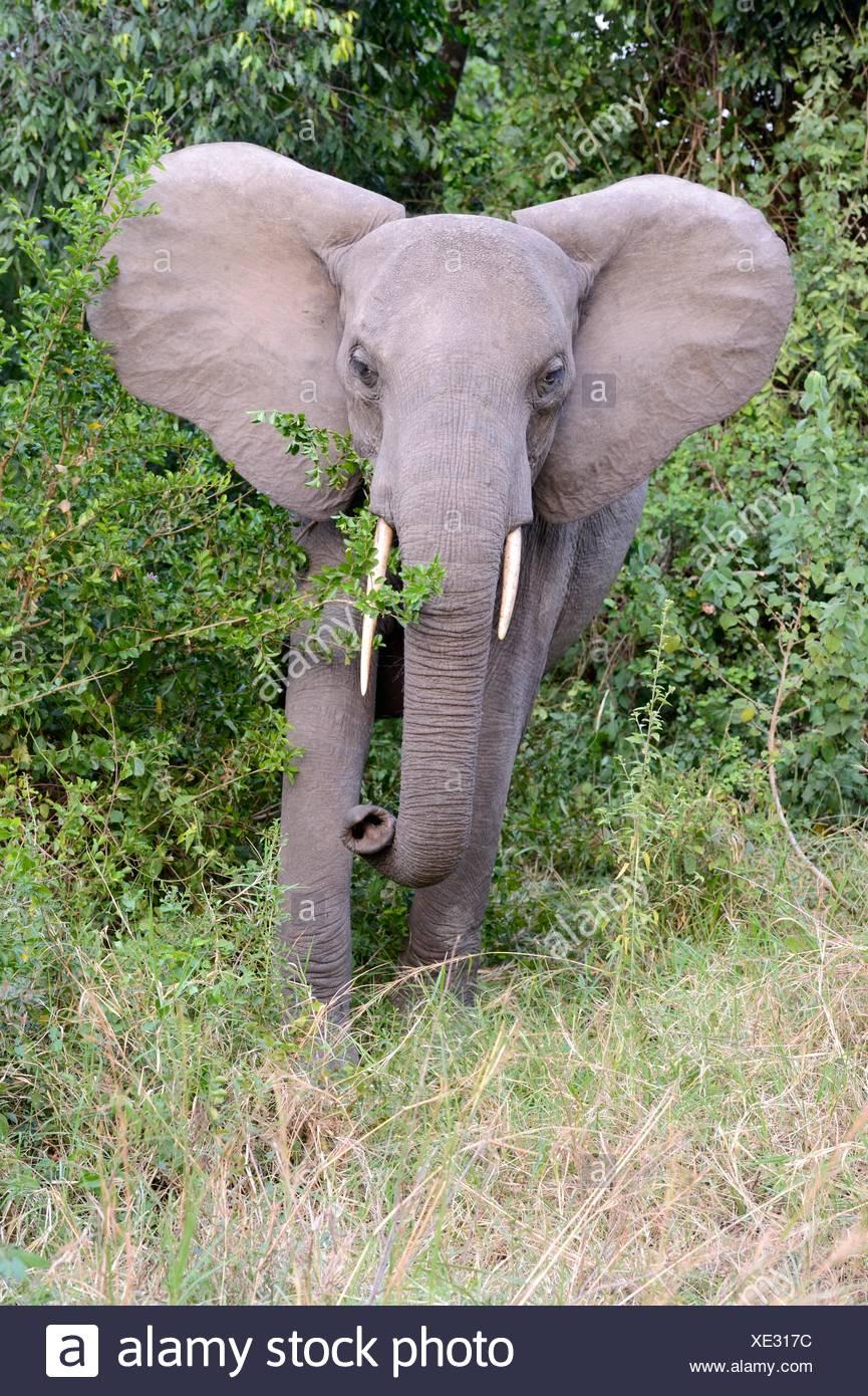 African elephant juvenile charging (Loxodonta africana) Queen Elizabeth National Park, Uganda, Africa. - Stock Image