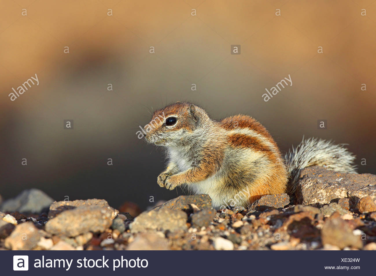 barbary ground squirrel, North African ground squirrel (Atlantoxerus getulus), sits on a stone, Canary Islands, Fuerteventura - Stock Image