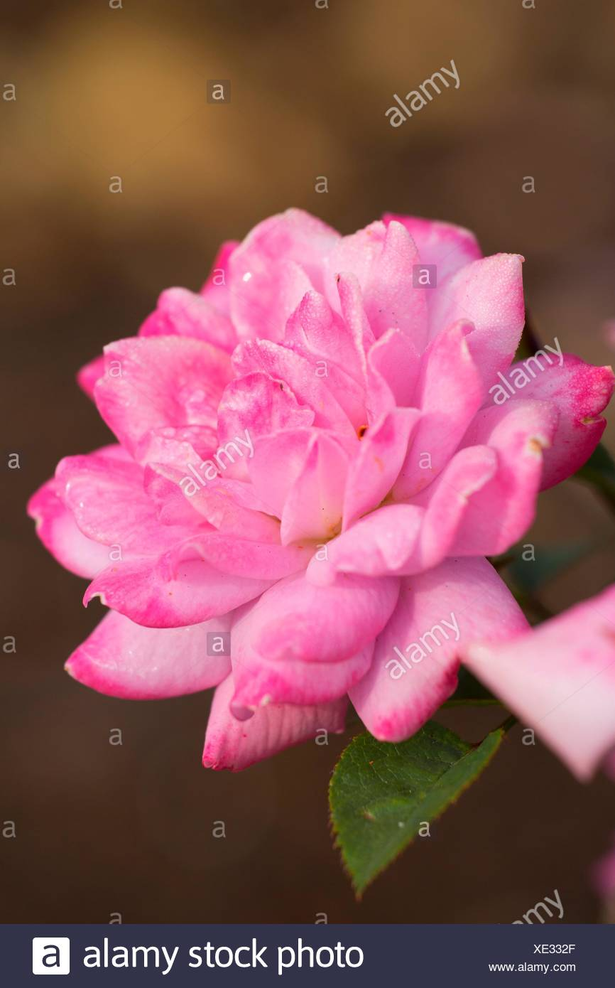 Vi's Violet rose, Heirloom Roses, St Paul, Oregon. - Stock Image