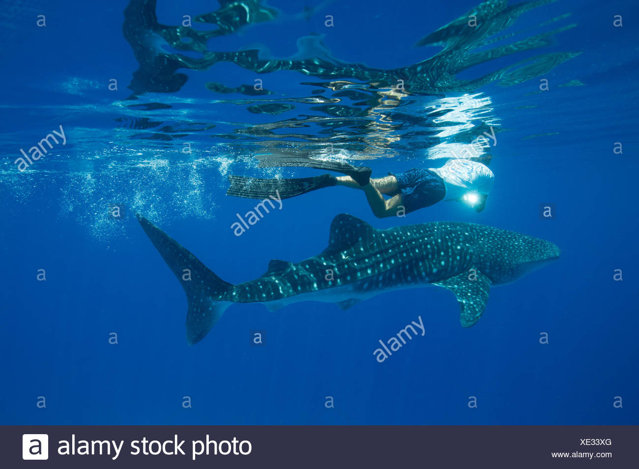 A researcher takes a photo identification of a whale shark. - Stock Image