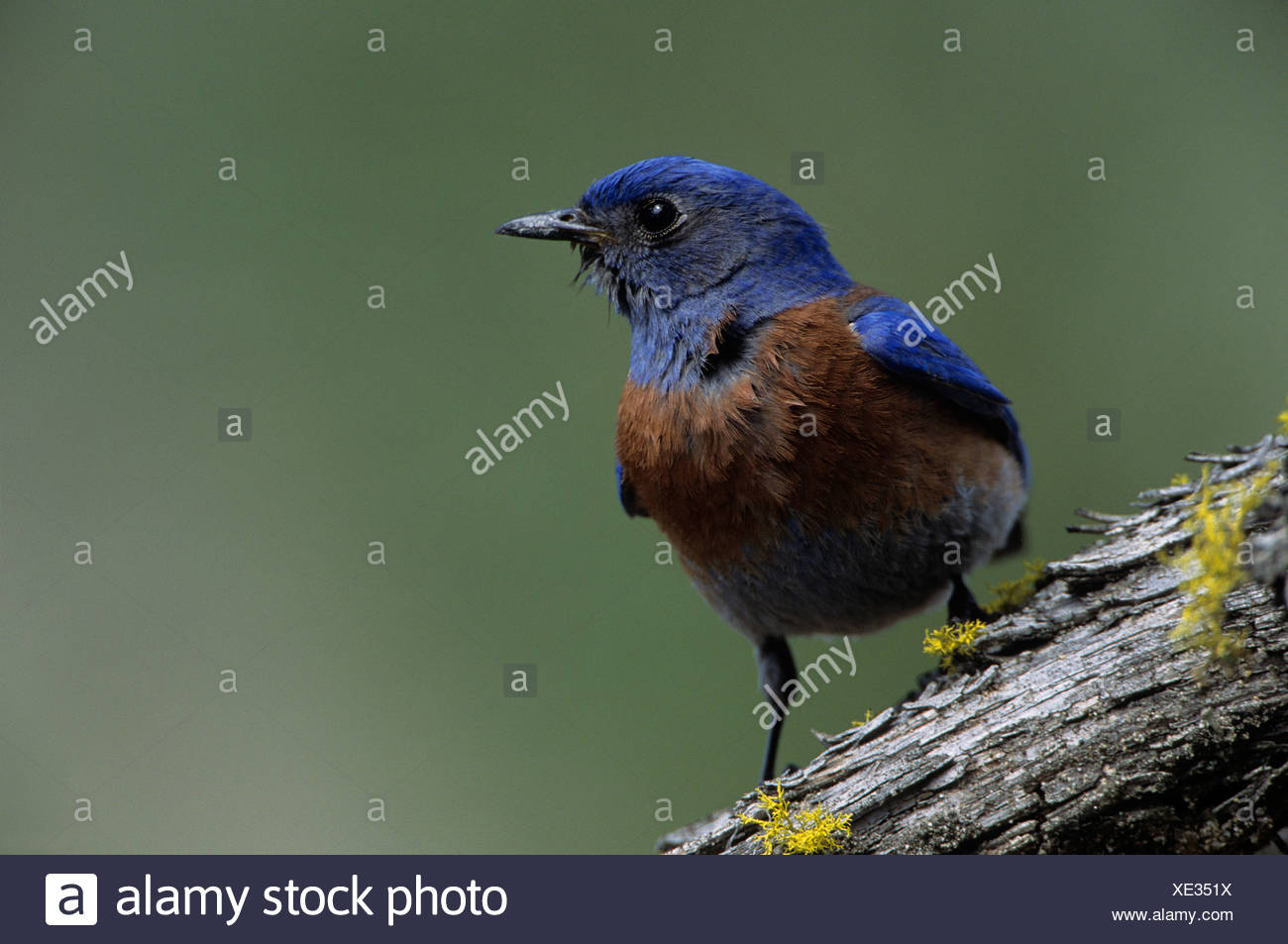 Male Western bluebird (Sialia mexicana) near Oliver, British Columbia, Canada Stock Photo