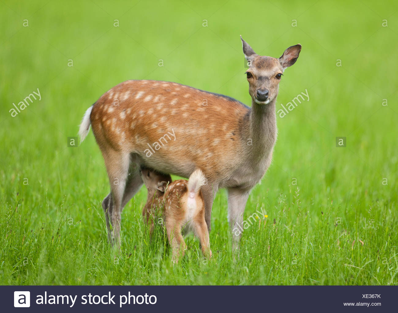 Sika Deer (Cervus nippon), hind suckling young, captive, Bavaria, Germany - Stock Image