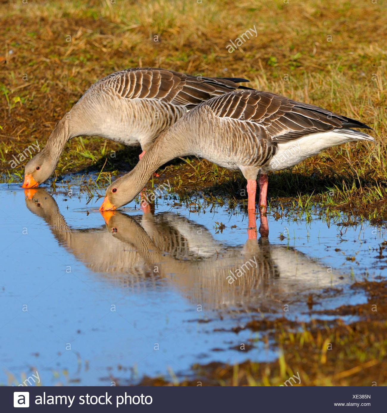 greylag goose (Anser anser), couple on the feed, Sweden Stock Photo