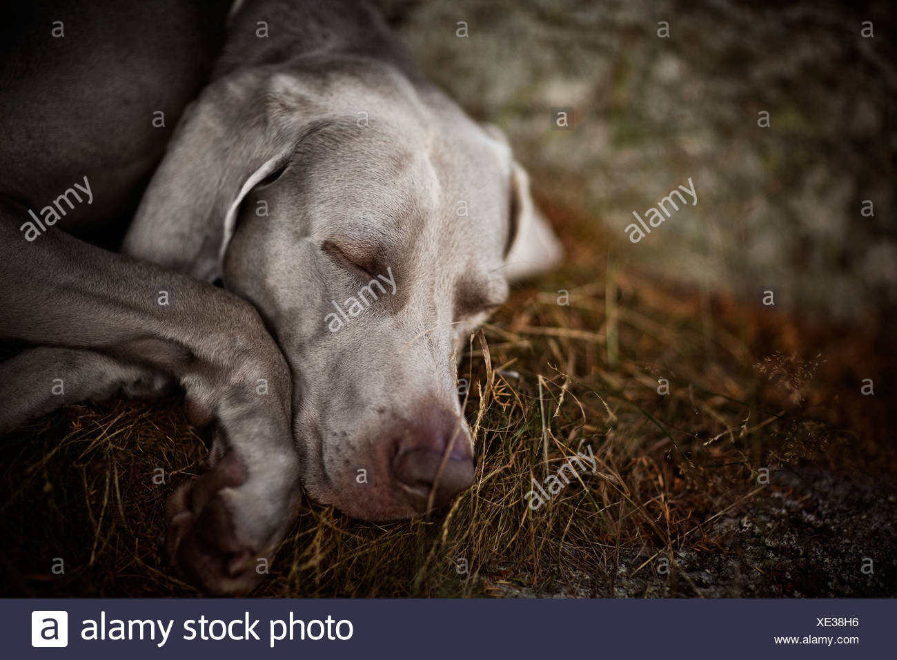 A dog dreaming, Sweden. - Stock Image