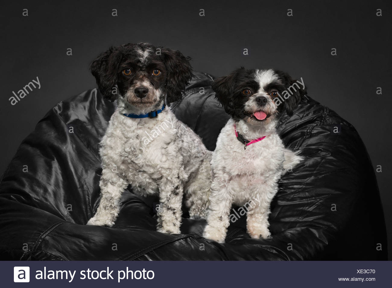 A Bichon-Shih Tzu And A Havanese Dog On A Black Beanbag - Stock Image