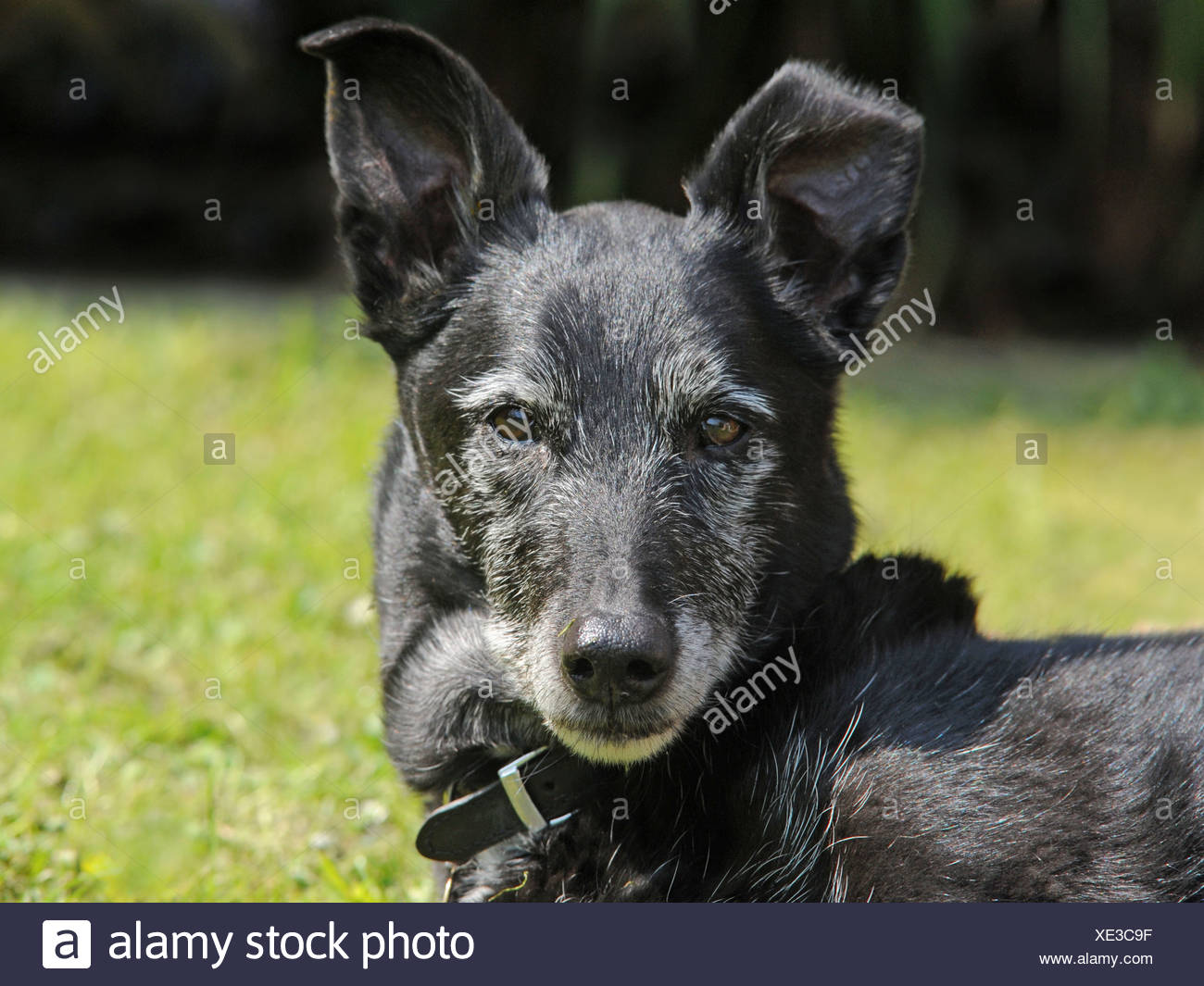An old black dog - Stock Image