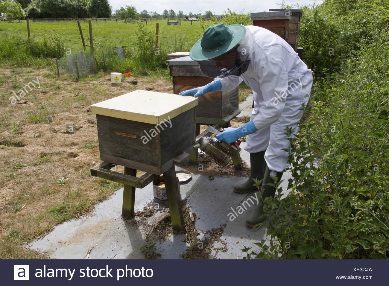 Using smoker at bee hive entrance to brood box to pacify