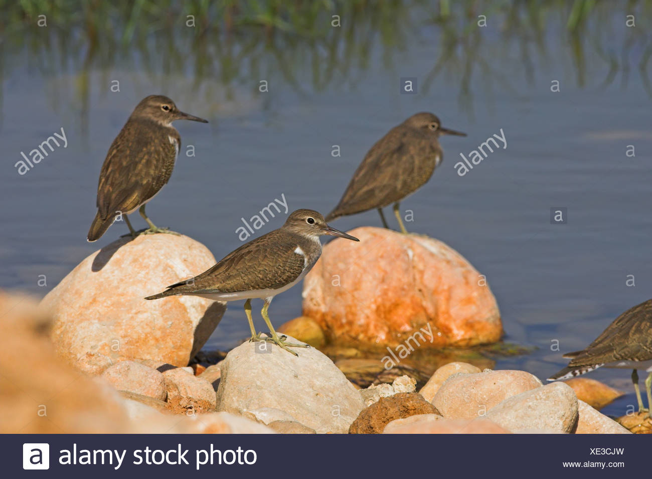 Common Sandpipers (Actitis hypoleucos) sitting on stones at a waterfront, side view - Stock Image