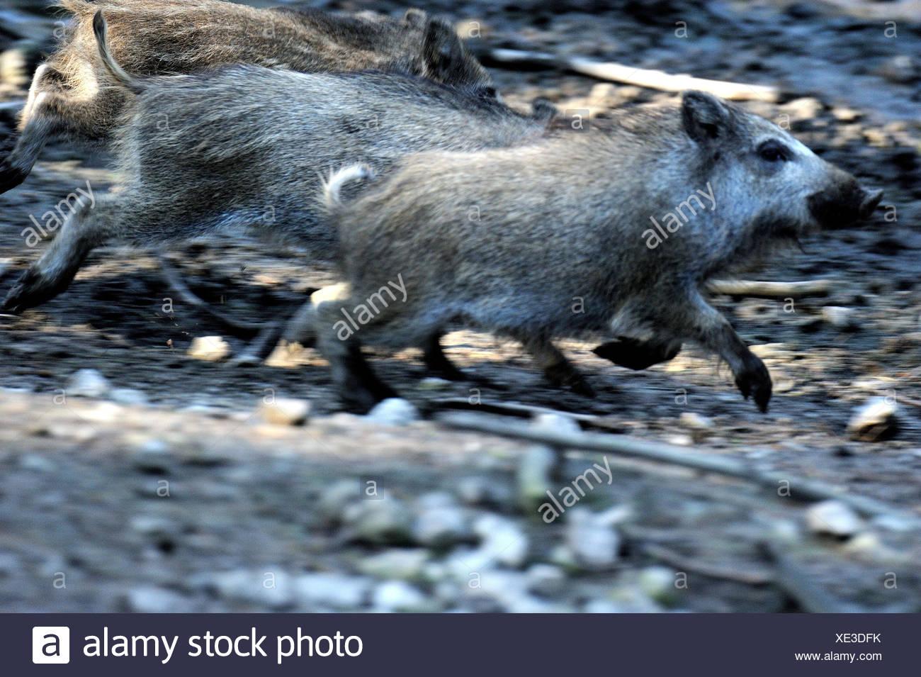 Wild boar, Sus scrofa, making a mess, blur, - Stock Image