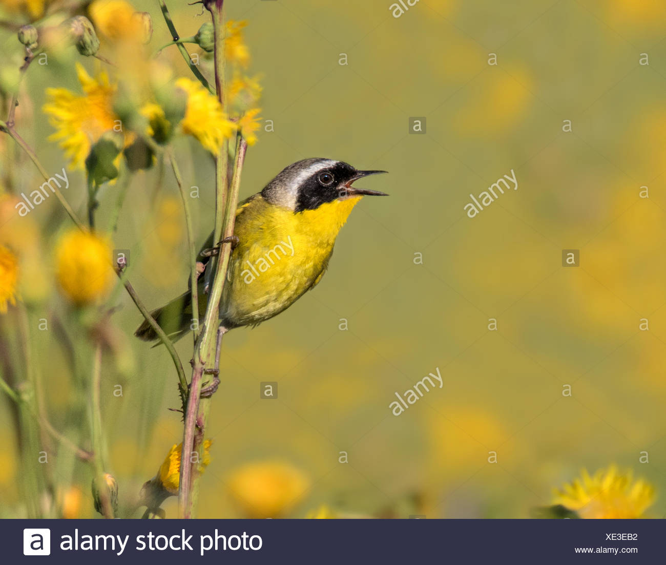 A male Common Yellowthroat, Geothlypis trichas,  sings from a wild flower in a canola field, near Saskatoon,  Canada - Stock Image