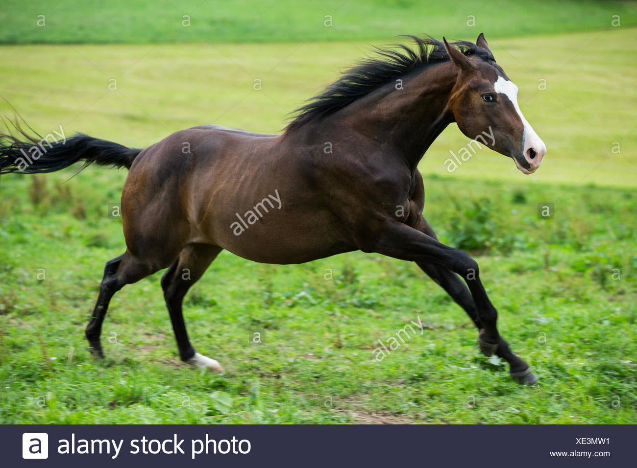 Paint Horse, bay horse galloping in a meadow - Stock Image
