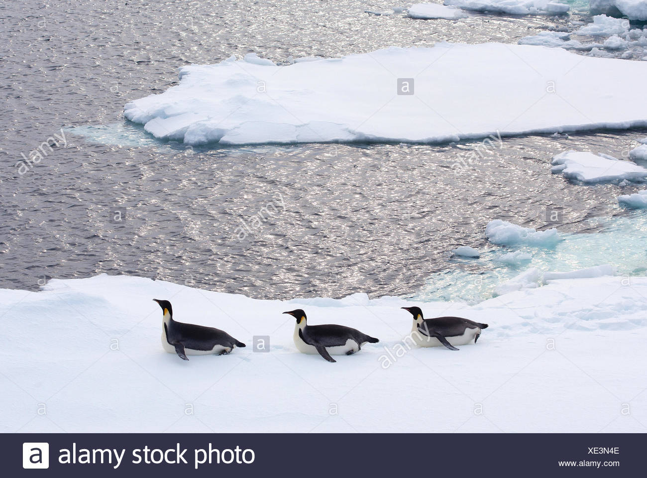 Emperor Penguins on iceberg, ice floe in the southern ocean, 180 miles north of East Antarctica, Antarctica - Stock Image
