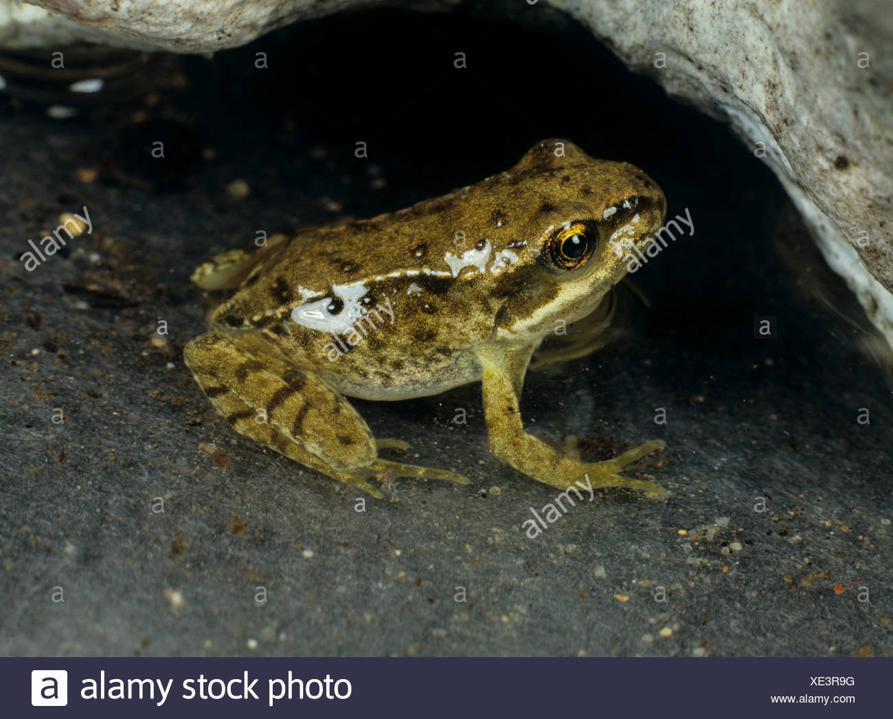 Young frog (Rana temporaria) shortly after losing its tail - Stock Image