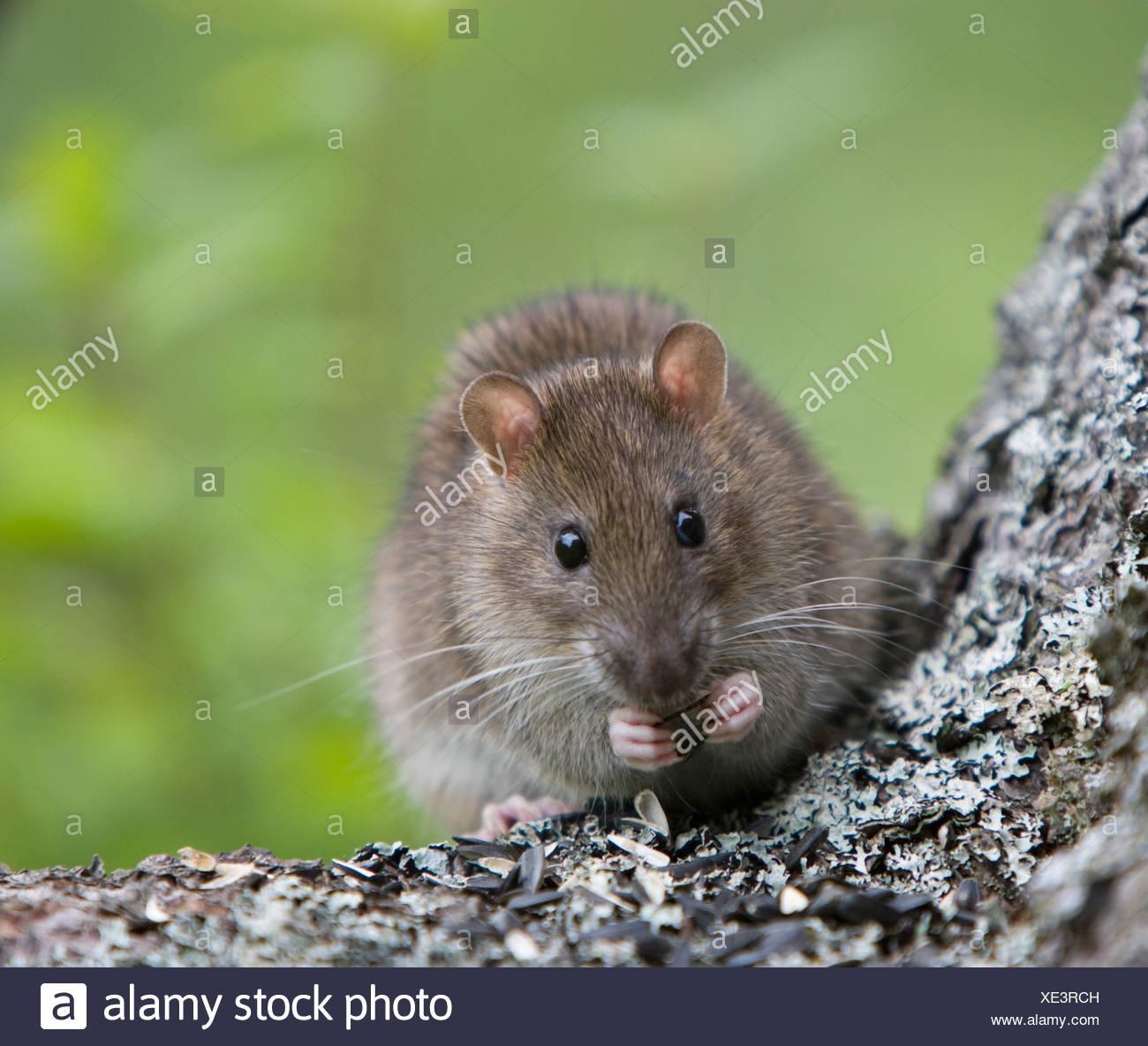 Norway rat (Rattus norvegicus) eating seeds, Grand Manan Island, New Brunswick, Canada - Stock Image