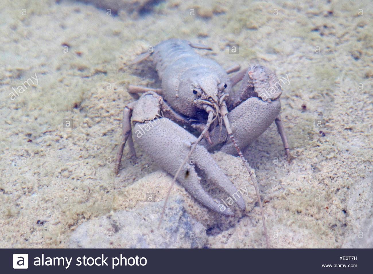 crayfish with camouflage - Stock Image
