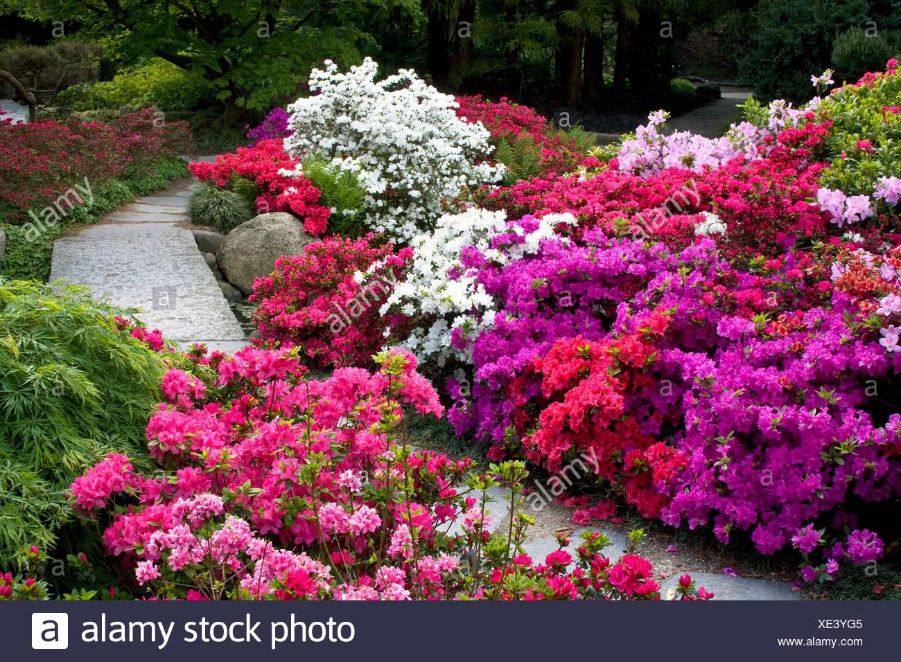 Rhododendrons, Azaleas (Rhododendron spec.) Japanese Garden in the Botanic Garden in Hamburg, Germany, Europe - Stock Image