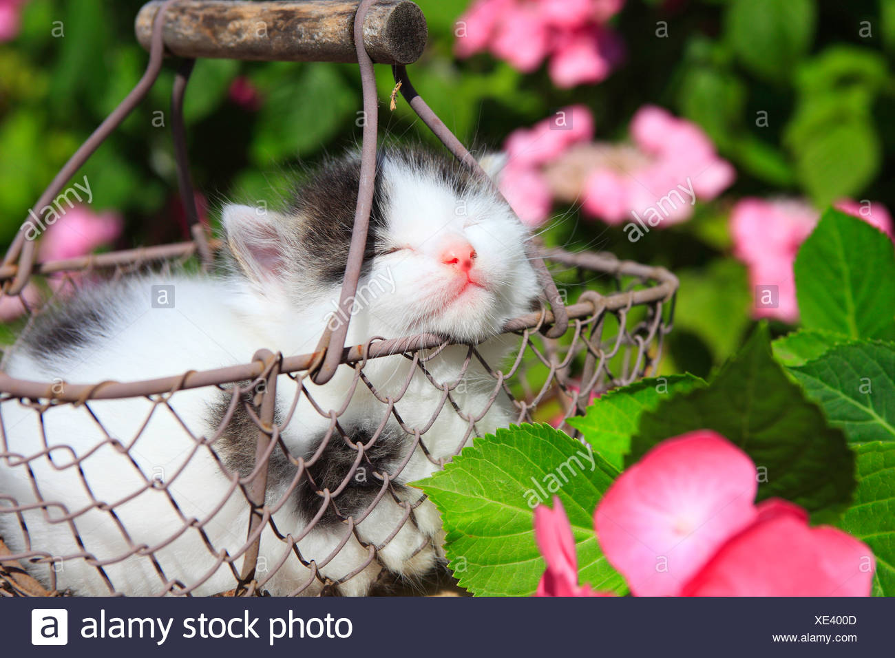 3 weeks, flower, flowers, garden, house, home, Animal, domestic animal, pet, young, cat, basket, kitten, baskets, tiredness, sle - Stock Image