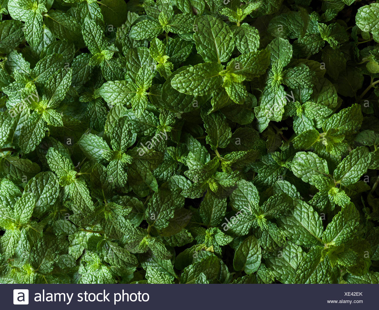 Full bleed shot of mint plants from above Stock Photo