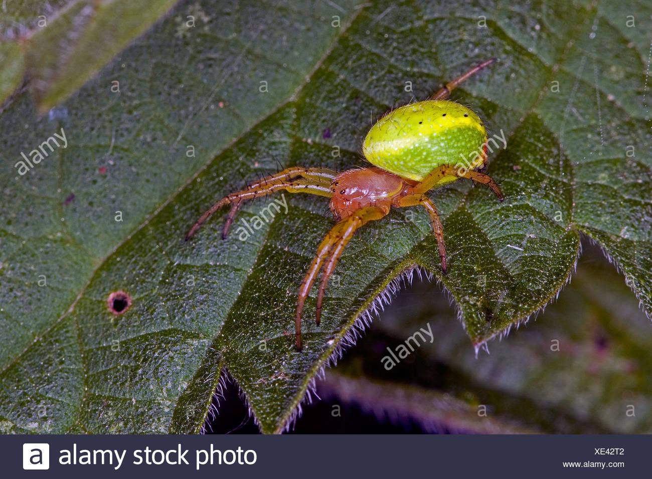 gourd spider, pumpkin spider (Araniella cucurbitina oder Araniella opistographa), sitting on a leaf, Germany - Stock Image