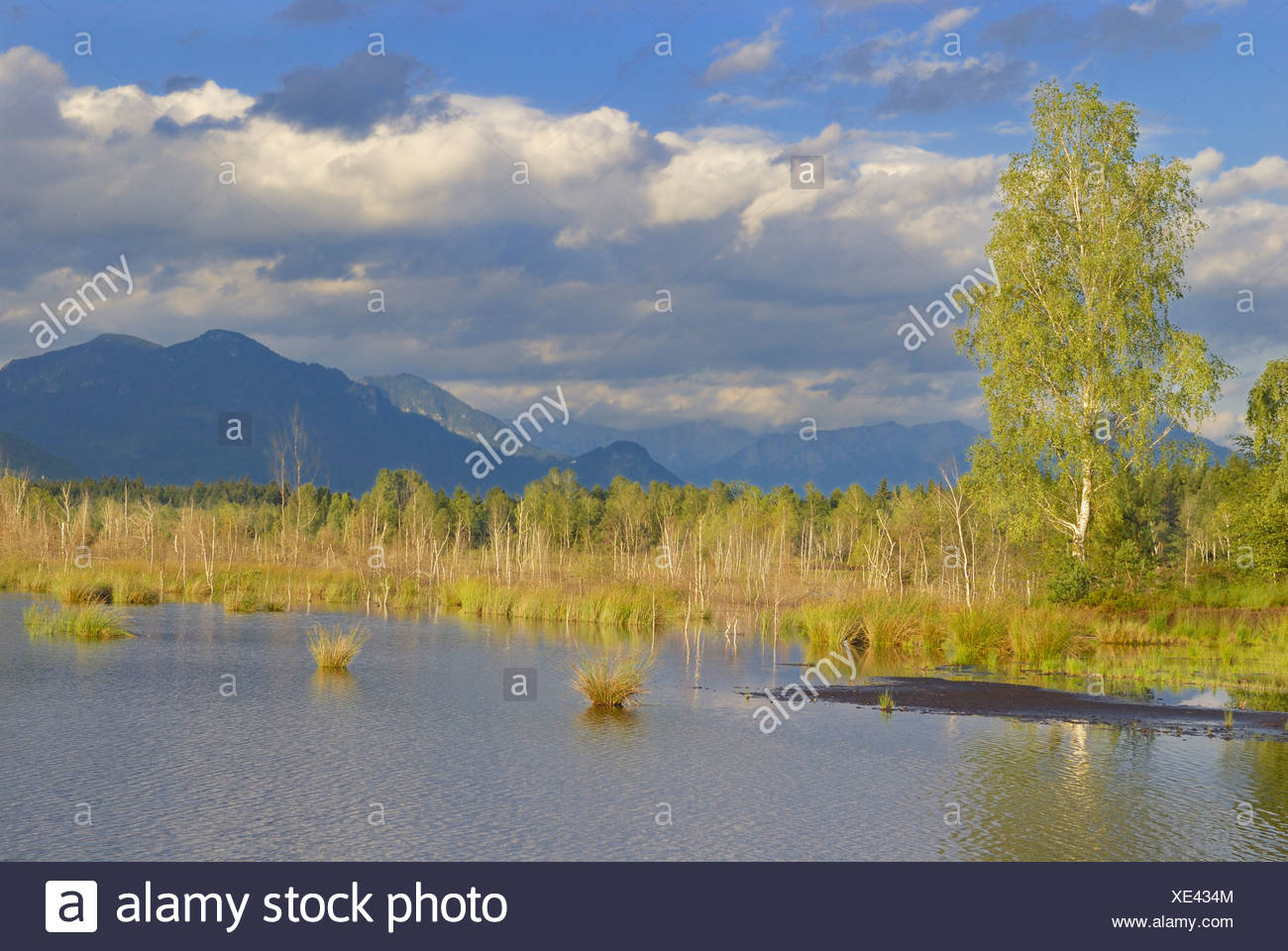 Moor pond with birches (Betula pubenscens) and mountains, foothills of the Alps, Grundbeckenmoor area, Nicklheim, Bavaria, Germ Stock Photo