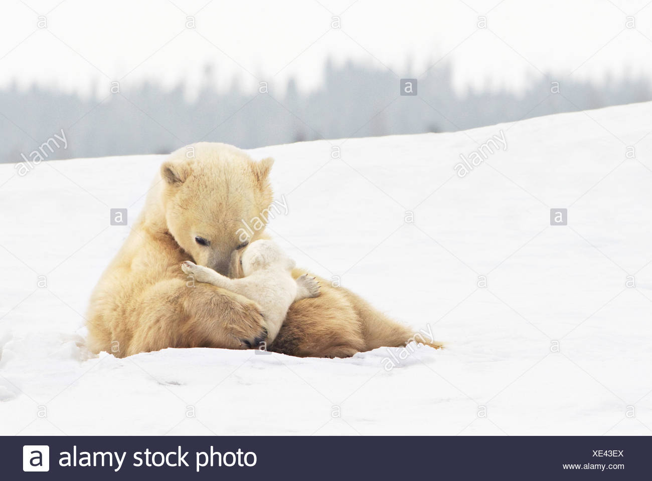 polar bear sow (ursus maritimus) holds her young cub tenderly in her paws at wapusk national park; churchill, manitoba, canada - Stock Image