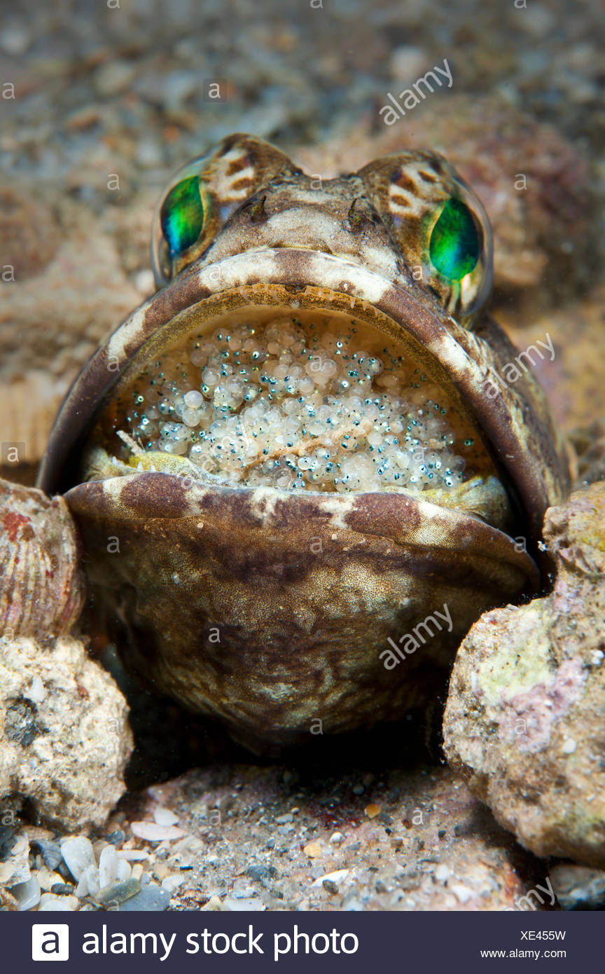 Banded jawfish (Opistognathus macrognathus) male incubating eggs in mouth, which are at a late stage of development and will soon be ready for release. West Palm Beach, Gulf Stream, West Atlantic Ocean, Florida, USA. - Stock Image