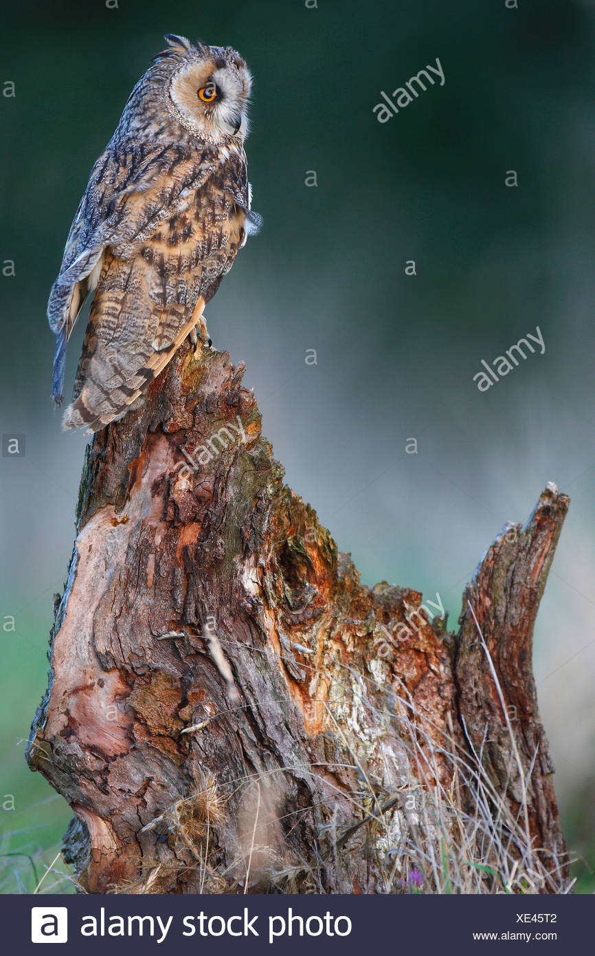 long-eared owl (Asio otus), perching on tree stump at forest's edge in evening light, Belgium Stock Photo