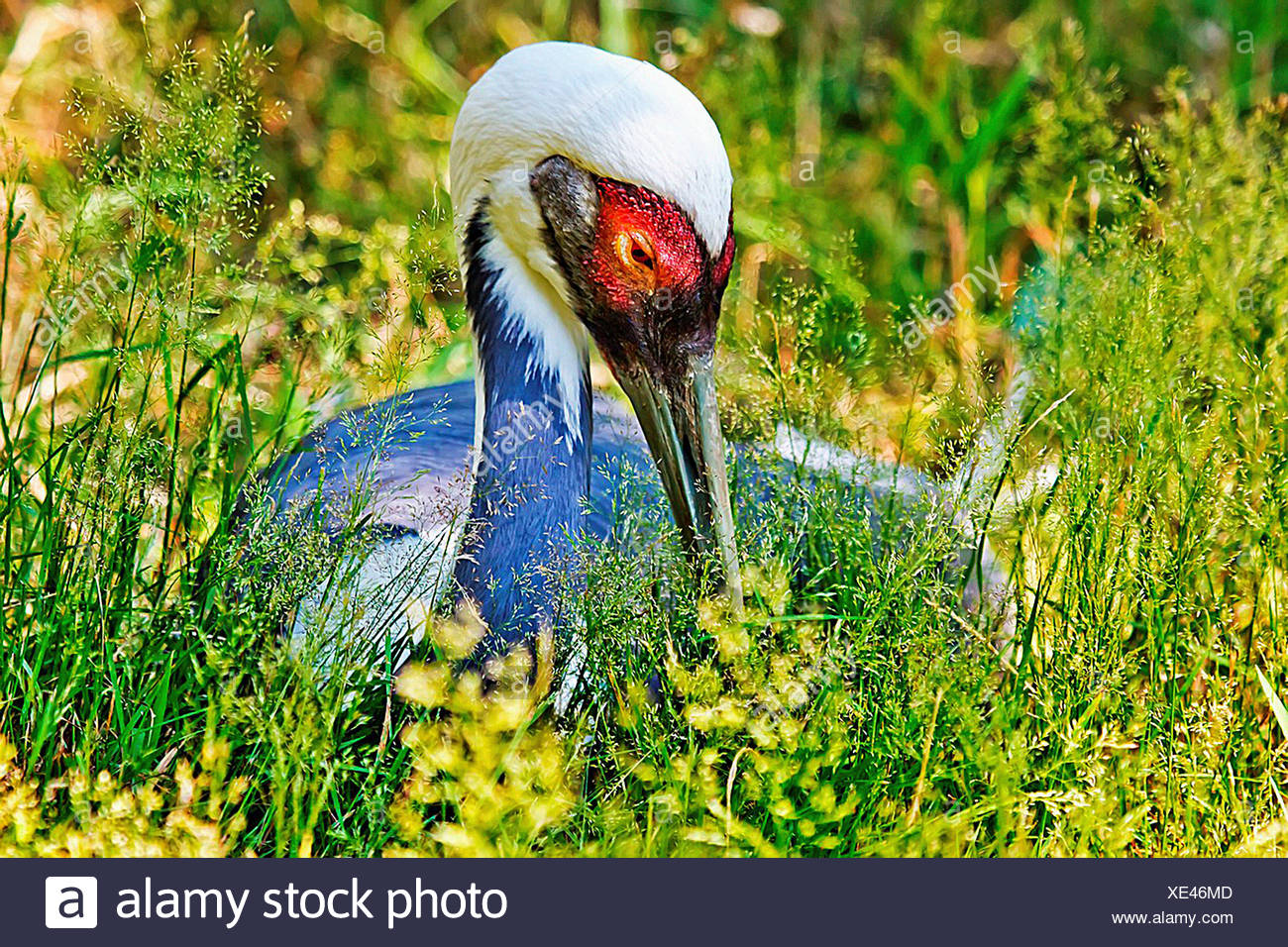 Asian Hooded Crane in Grass, Close Up of Head and Red Eye, Grus Monacuhus - Stock Image