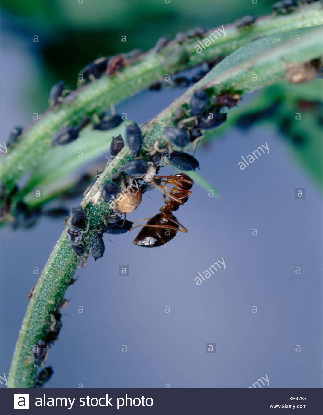 Sugar Ant Stock Photos & Sugar Ant Stock Images - Alamy