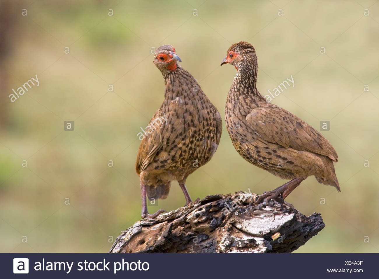 Shallow depth-of-field photograph of two Swainson's spurfowl (Francolinus swainsonii) squaring up for a fight - Stock Image