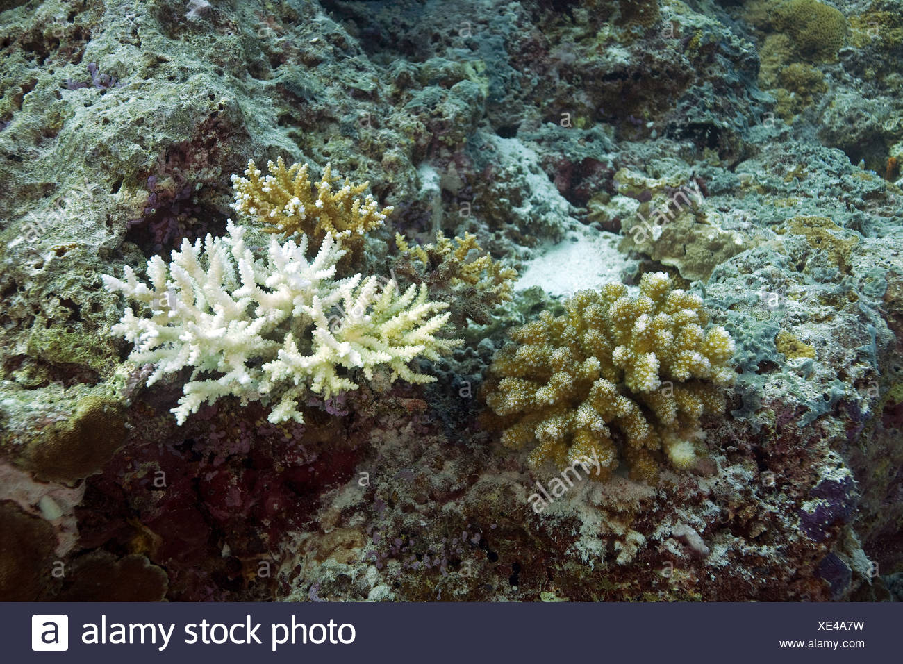 Coral bleaching by El Ninjo, consequences of global climate change and climate warming, Maldives, Indian Ocean, Asia - Stock Image