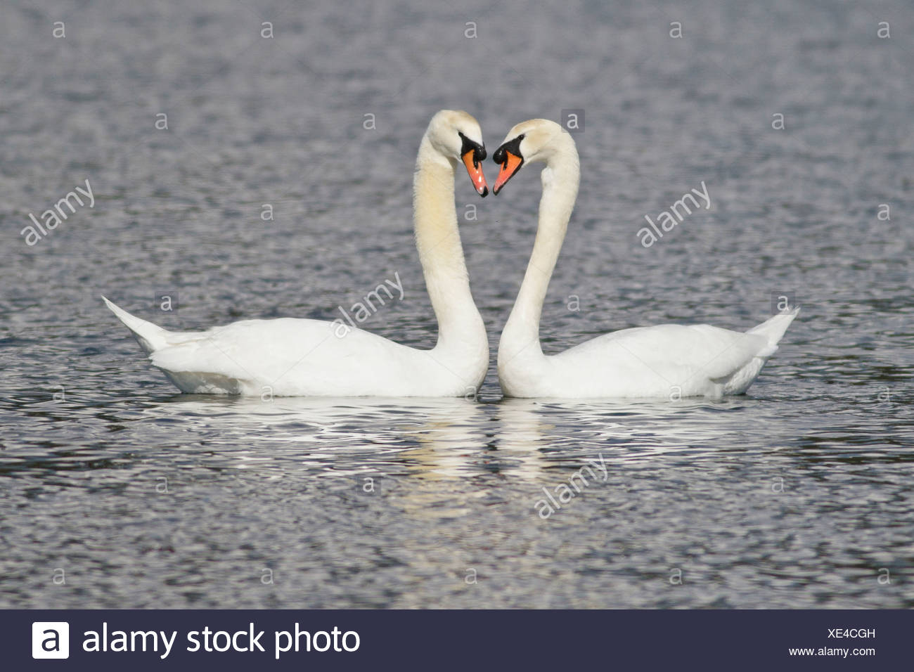 Mute Swan (Cygnus olor) swimming in a pond near Victoria, BC, Canada. Stock Photo