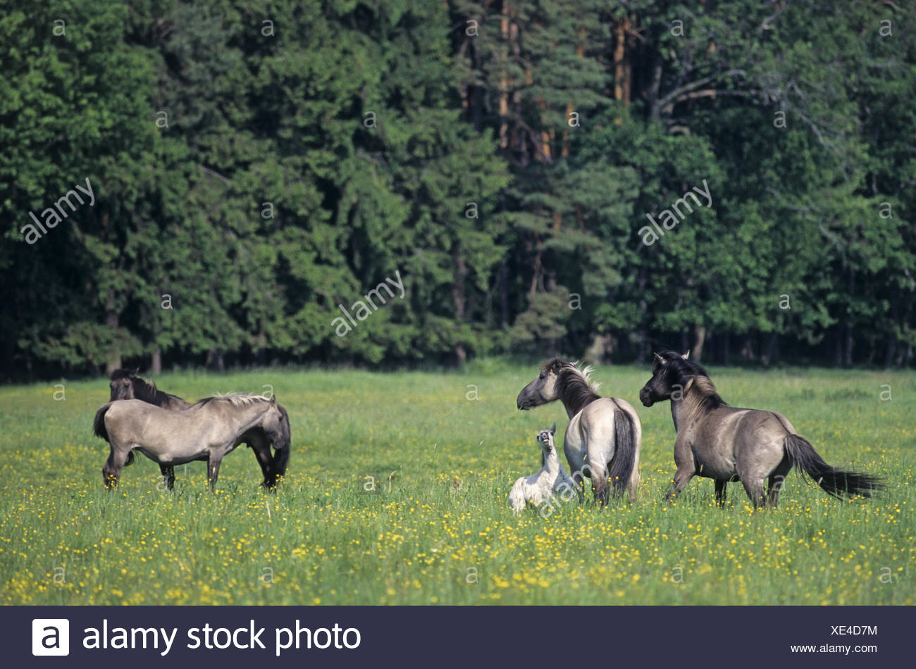 Heck Horse stallion attacking mare and foal Stock Photo