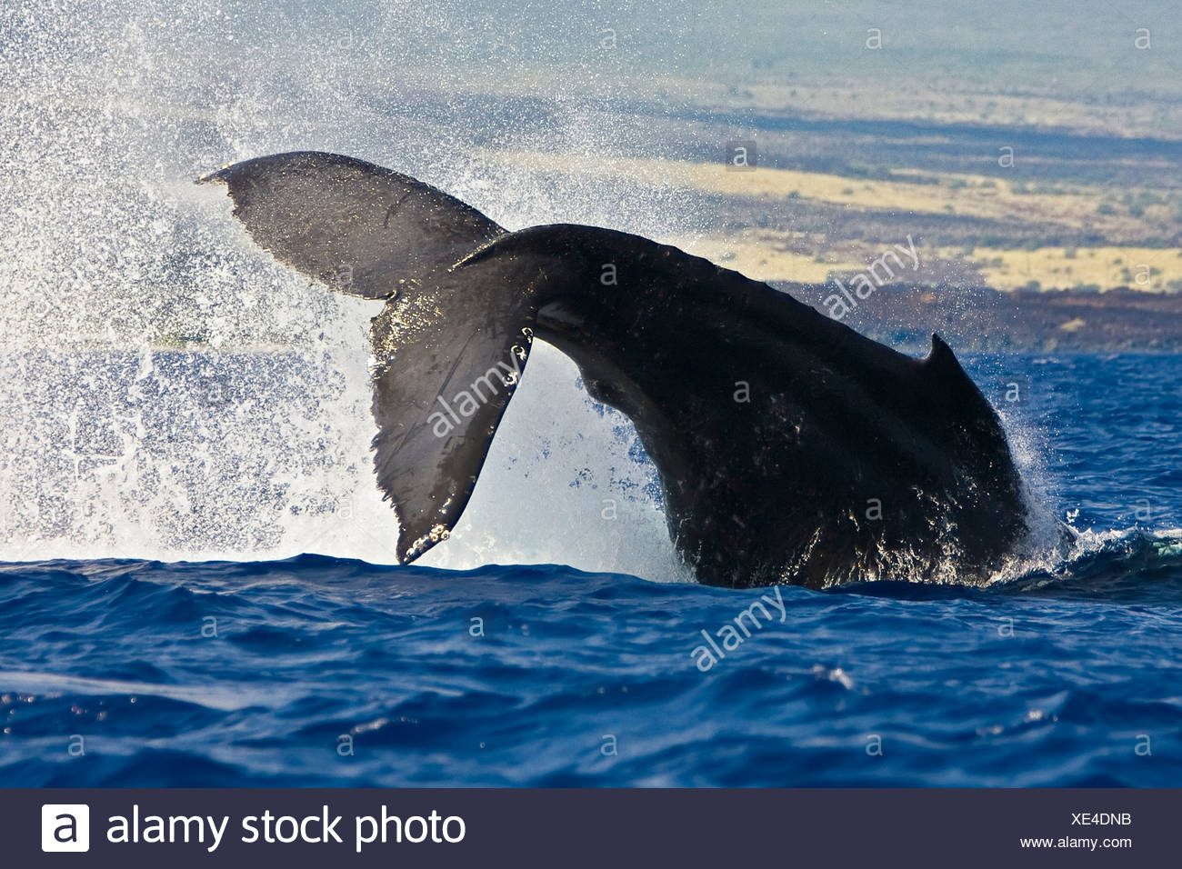 Tail of Humpback Whale, Megaptera novaeangliae, Kona Coast, Big Island, Hawaii, USA - Stock Image