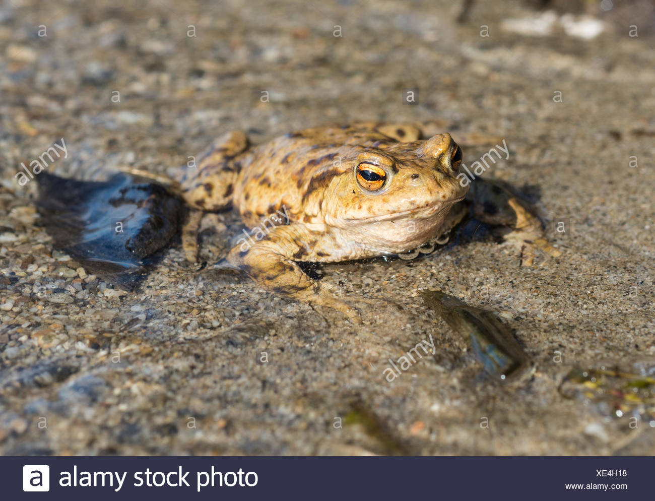 Common toad (Bufo bufo) in water, mating season, Stallauer Weiher, Upper Bavaria, Bavaria, Germany Stock Photo
