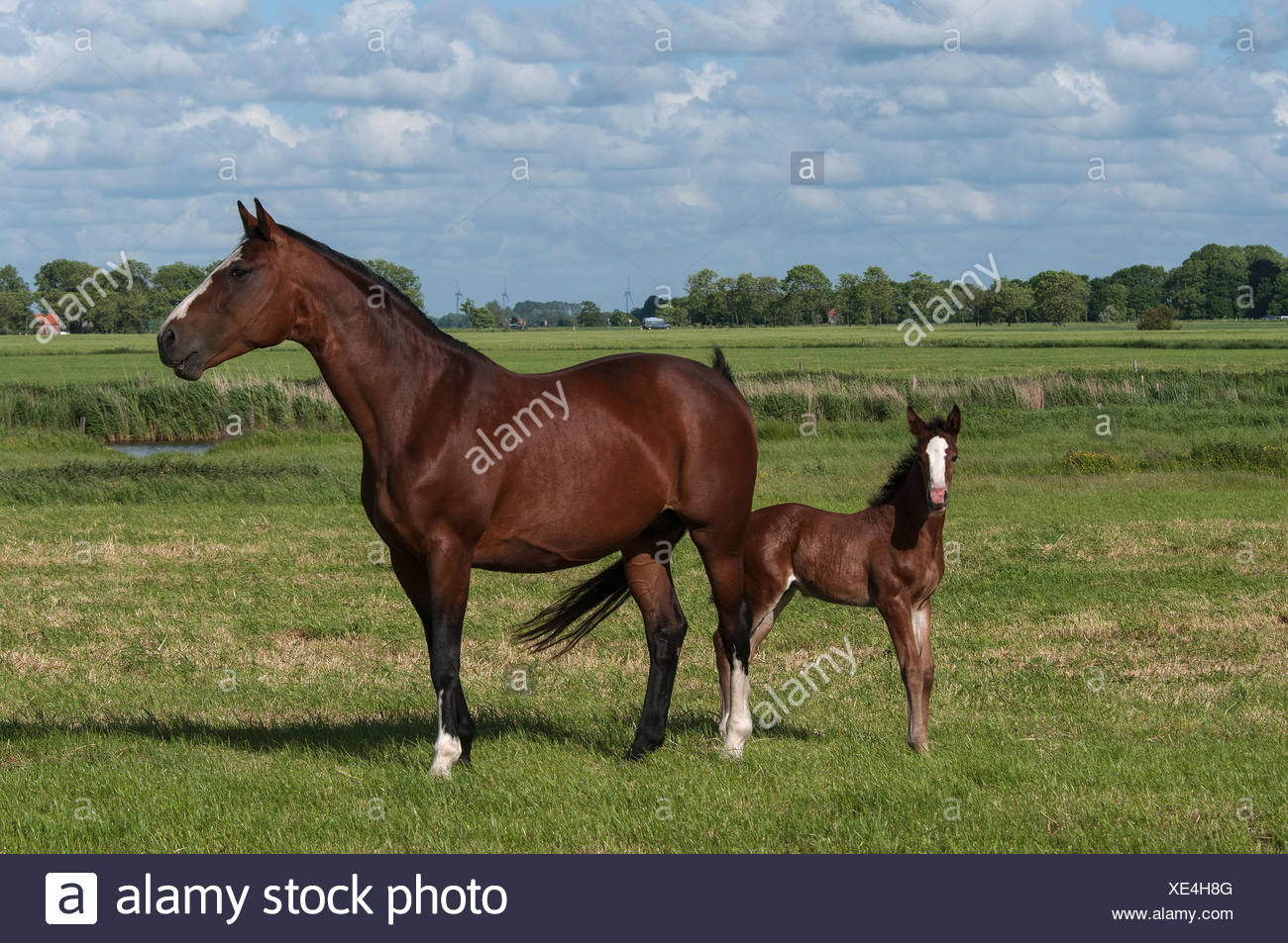 Bay mare with a foal on a pasture, East Frisia, Lower Saxony - Stock Image
