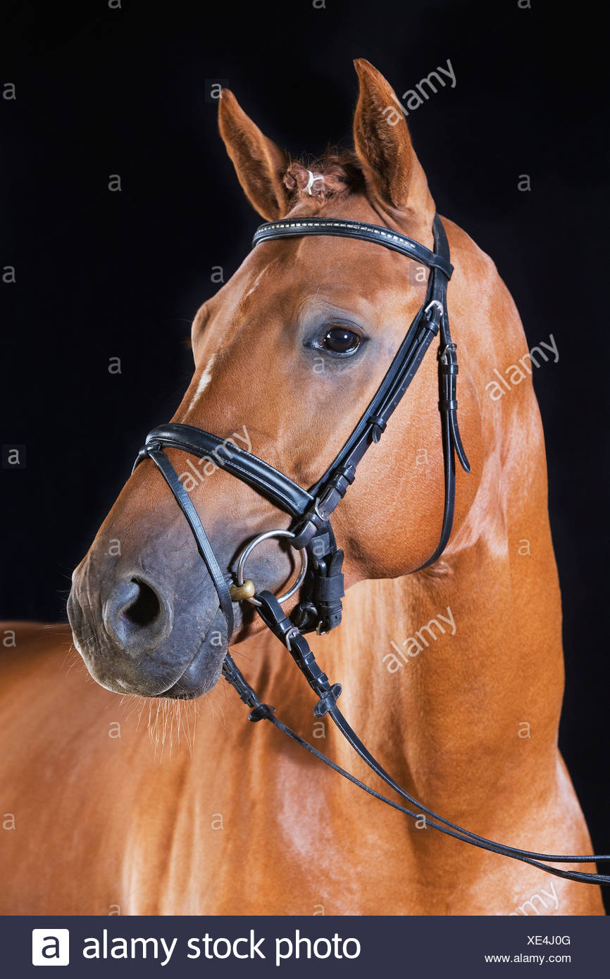 portrait of brown horse - Stock Image