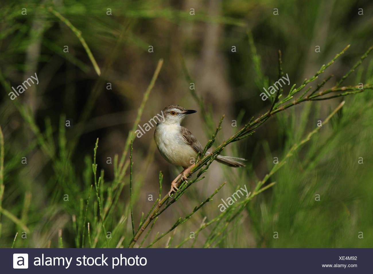 White-browed Pirnia (Prinia inornata insularis), sitting on a branch, Sri Lanka - Stock Image