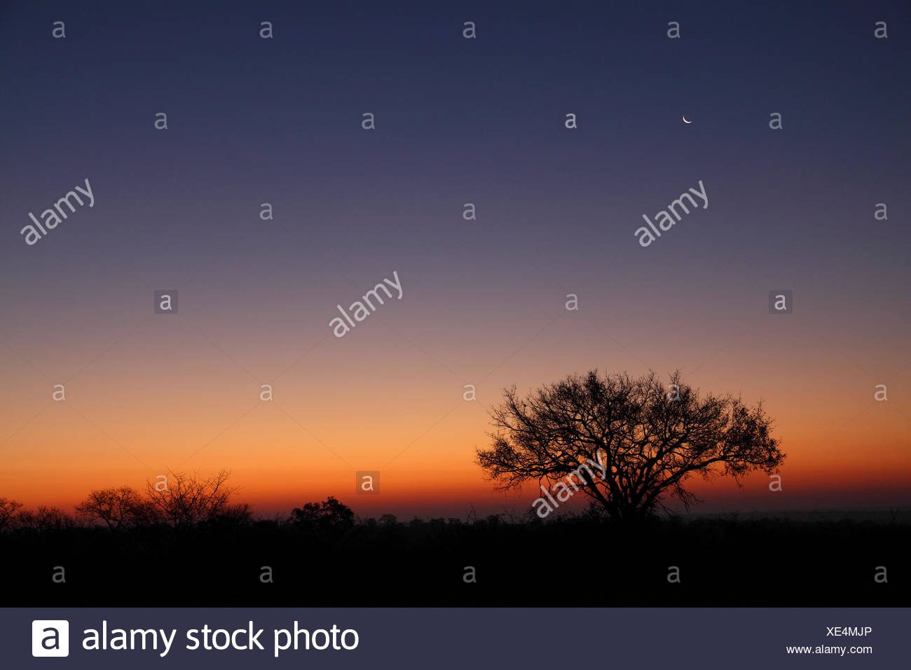 umbrella thorn and half moon some minutes before sunrise, South Africa, Kruger National Park - Stock Image
