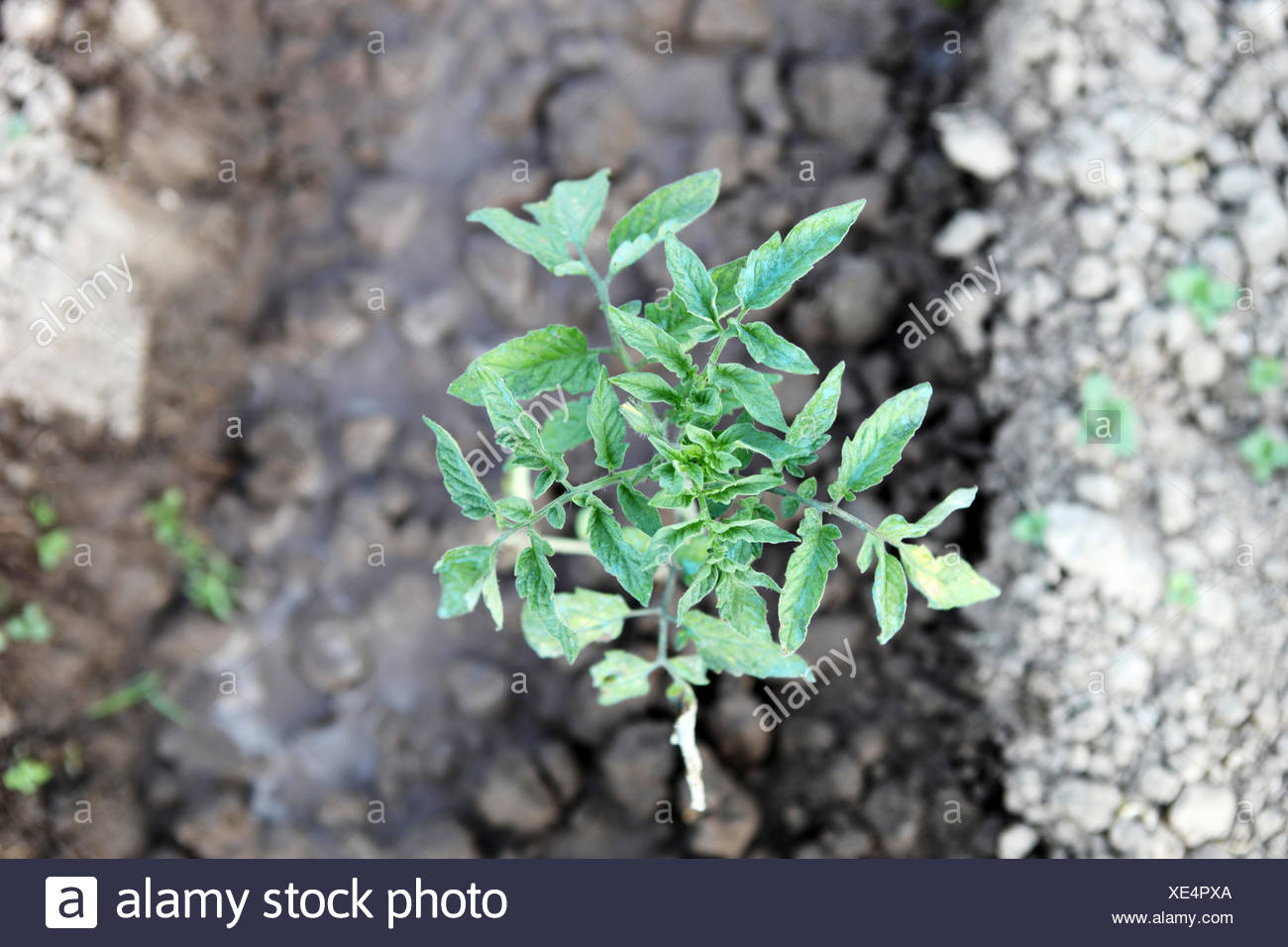 Tomato seedling - Stock Image
