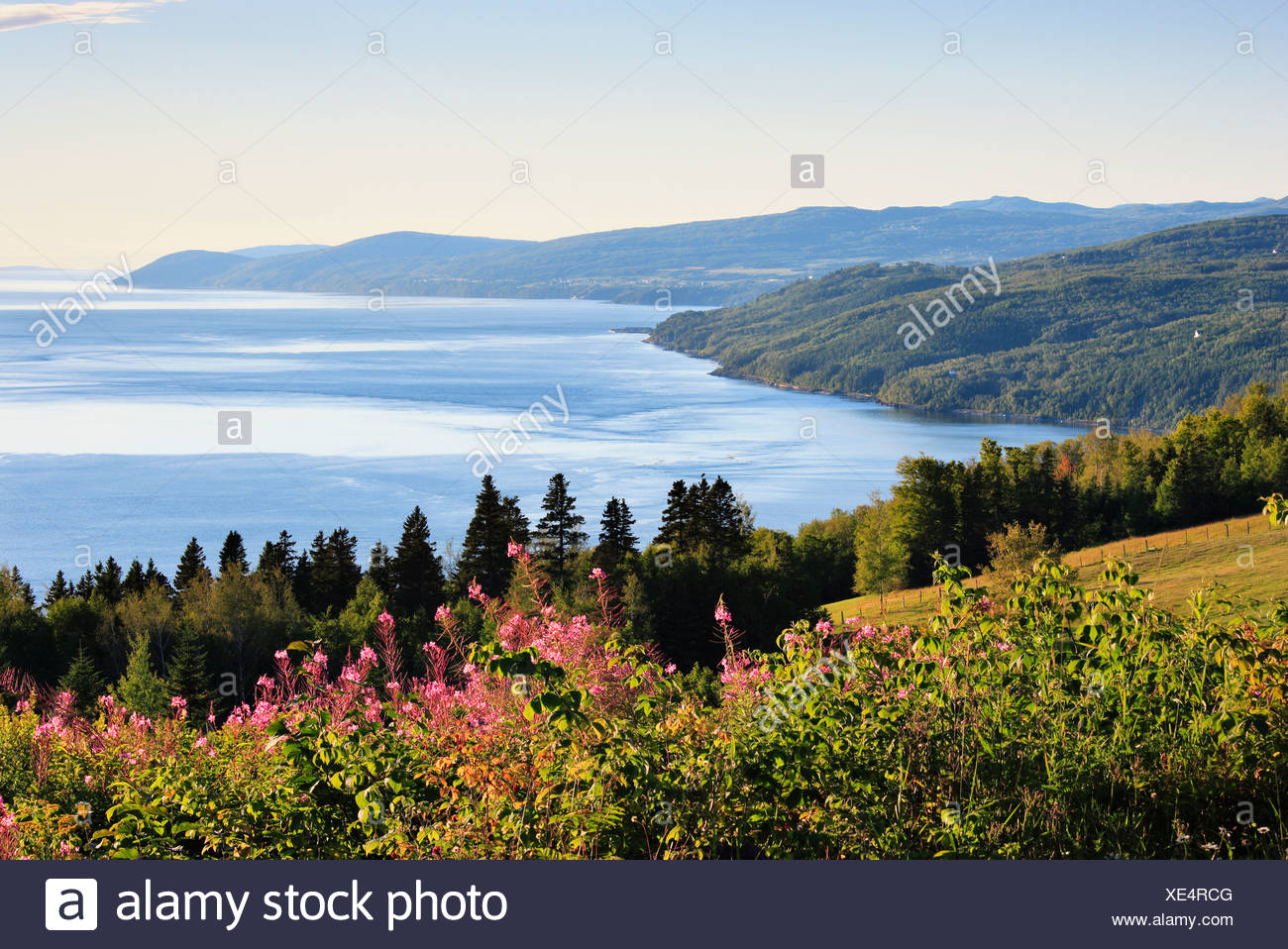 Artist's Choice: Fireweed and St. Lawrence River, Charlevoix Region, Saint-Irenee, Quebec. - Stock Image