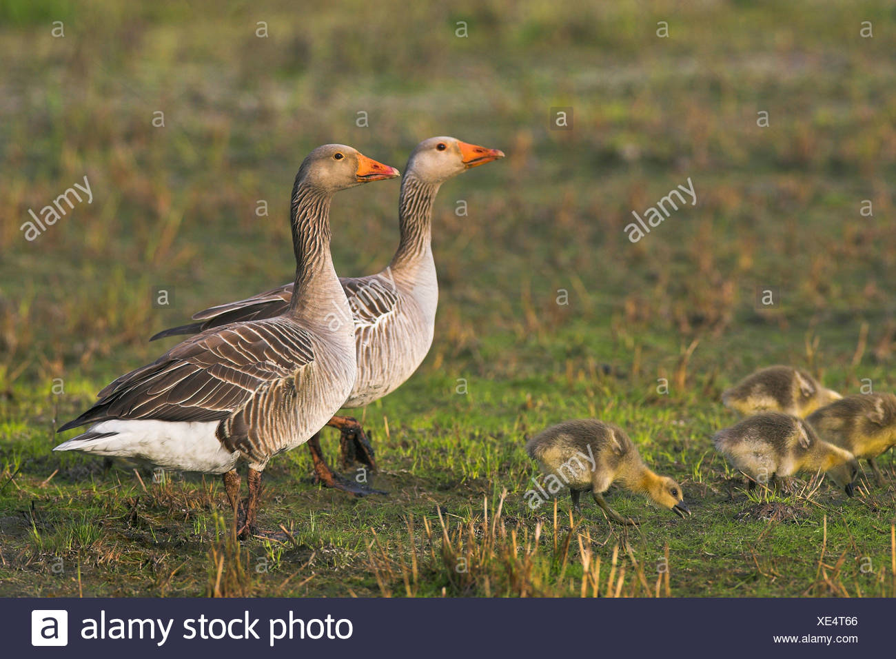 greylag goose (Anser anser), couple with chicks, Netherlands, Texel Stock Photo