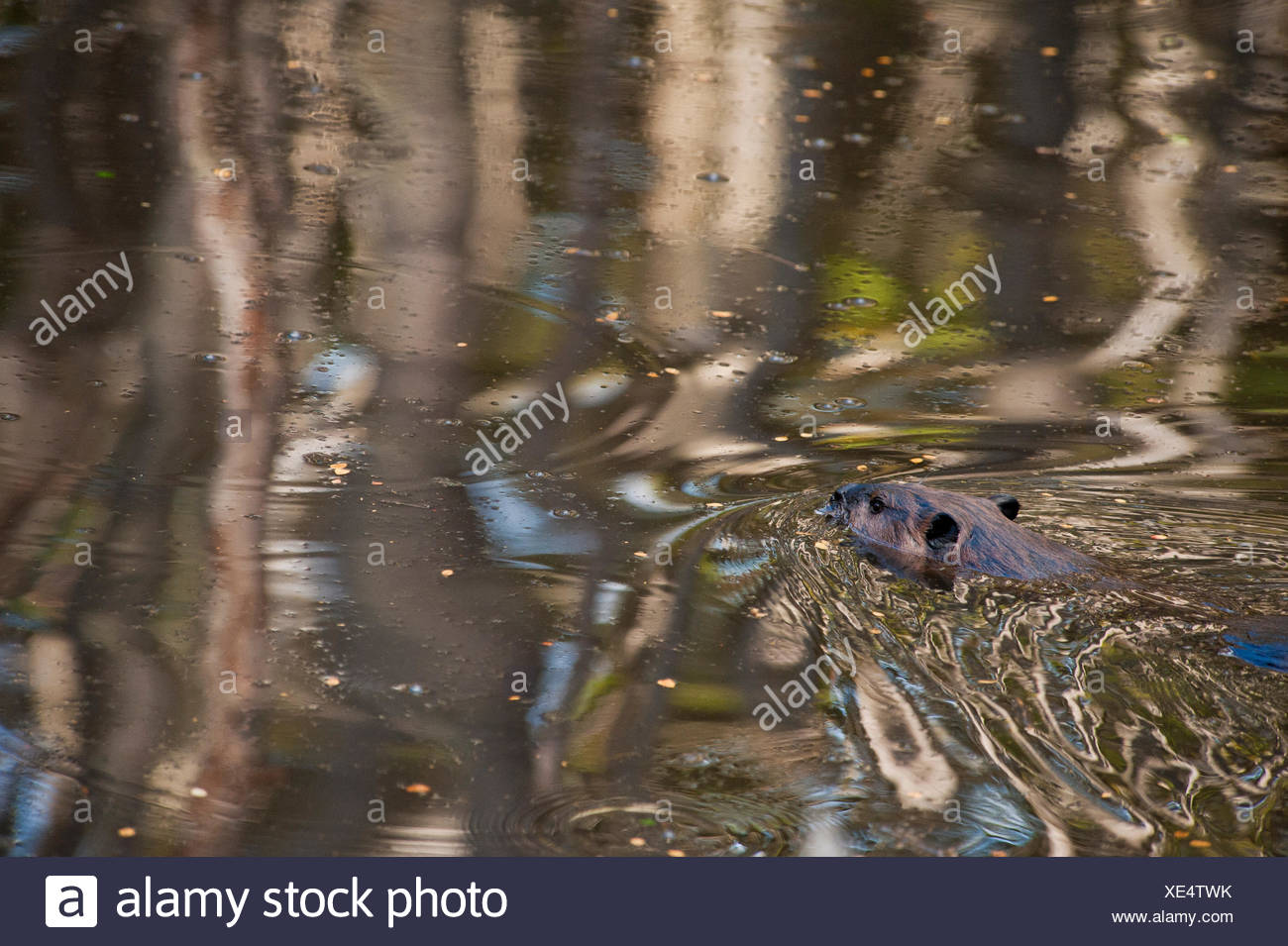 A beaver, Castor canadensis, swimming diagonally away from the camera. - Stock Image