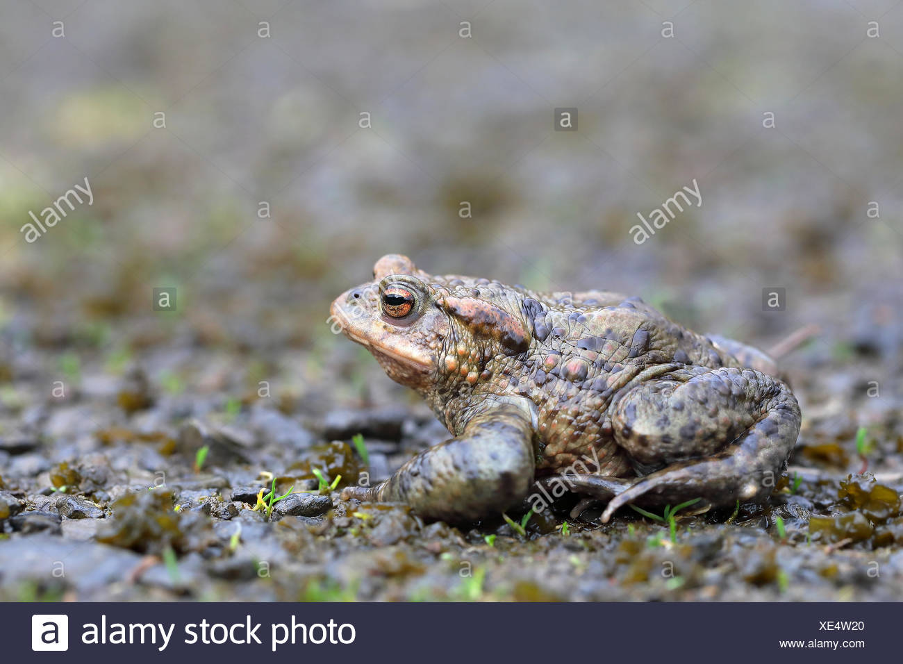 Common toad (Bufo bufo) sitting on damp ground, Malscheid Nature Reserve, Siegerland, North Rhine-Westphalia, Germany Stock Photo