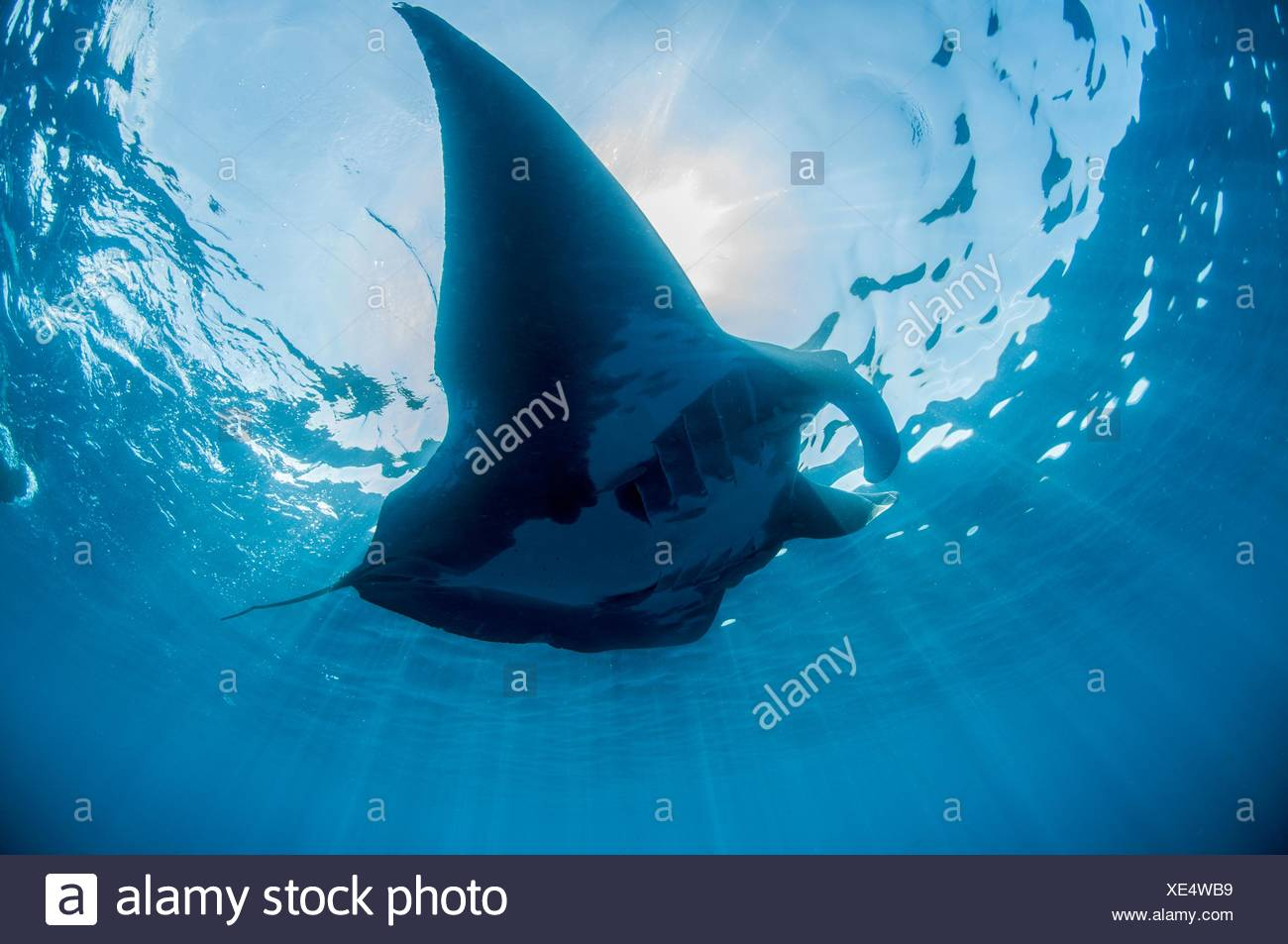 Underwater view of silhouetted giant manta sunbathing, Isla Mujeres, Quintana Roo, Mexico Stock Photo