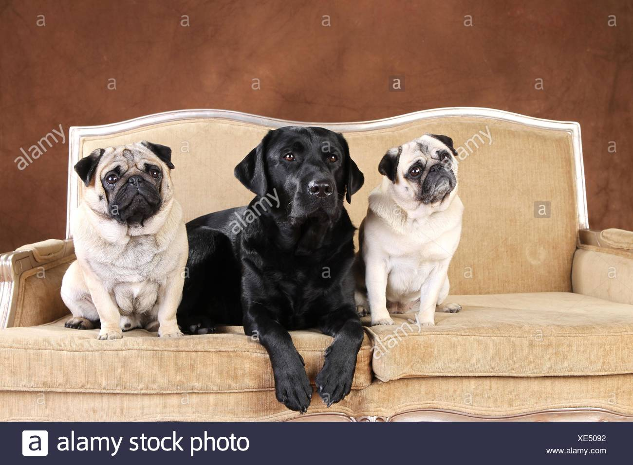 Labrador Retriever and pugs - Stock Image